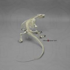 Lizard Life Cycle Diagram Caravan Socket Wiring Komodo Dragon Skeleton
