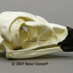 Golden Eagle Skeleton Diagram Pollak Ignition Switch Wiring Museum Quality Bird Skull Casts Bone Clones
