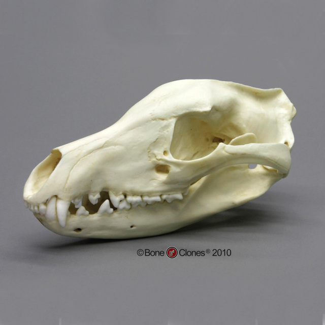 animal skull diagram tool to generate class from java code museum quality small skeleton casts
