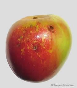 Groninger Kroon vrucht