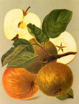 Schone van Boskoop appels