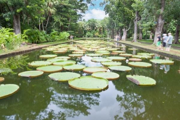 Nénuphars Géants - Jardin de Pamplemousses