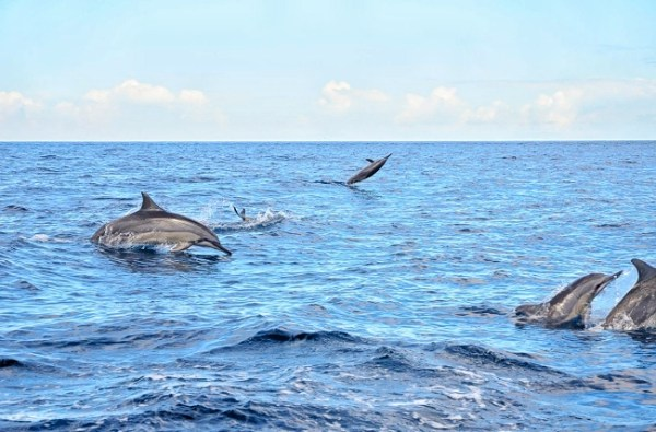 Mauritius - Pod of Dolphins