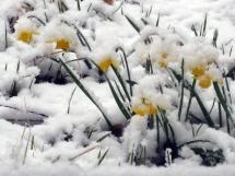 narcisses-sous-la-neige