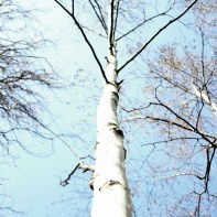 White Birch by Millie Coady-Booth