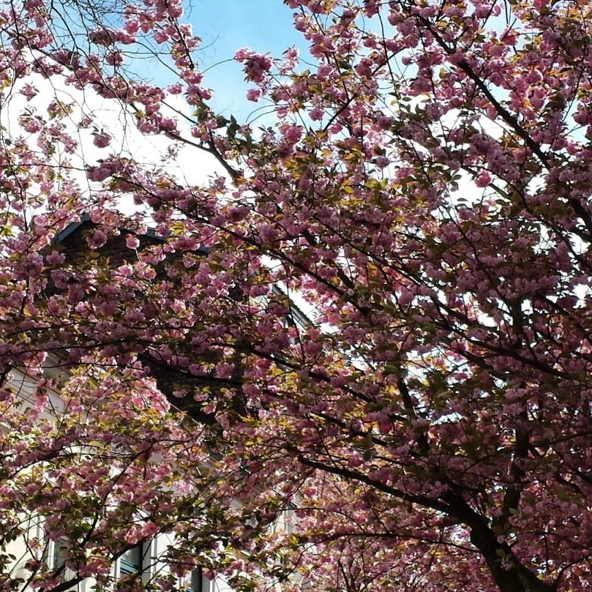 Warten auf die Kirschblüte: Knospen noch im Winterschlaf | Infos | Termine 2018