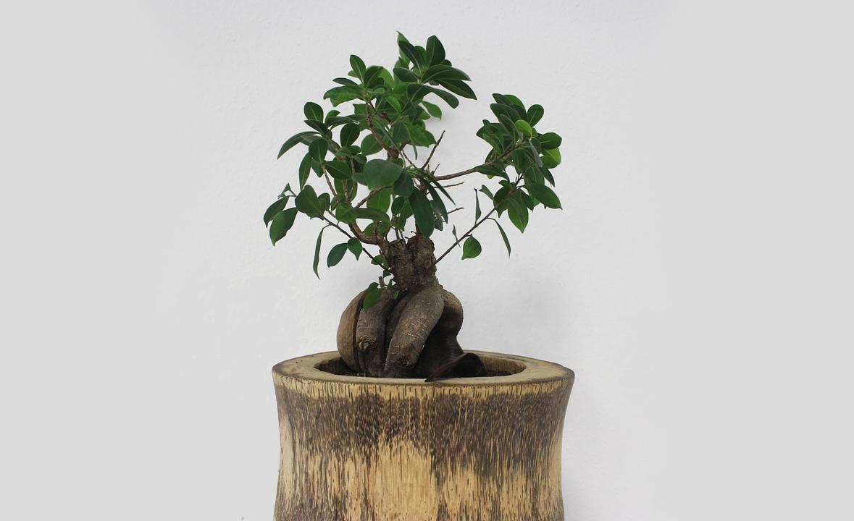 Comment entretenir un bonsai dinterieur   BonsaiEntretien