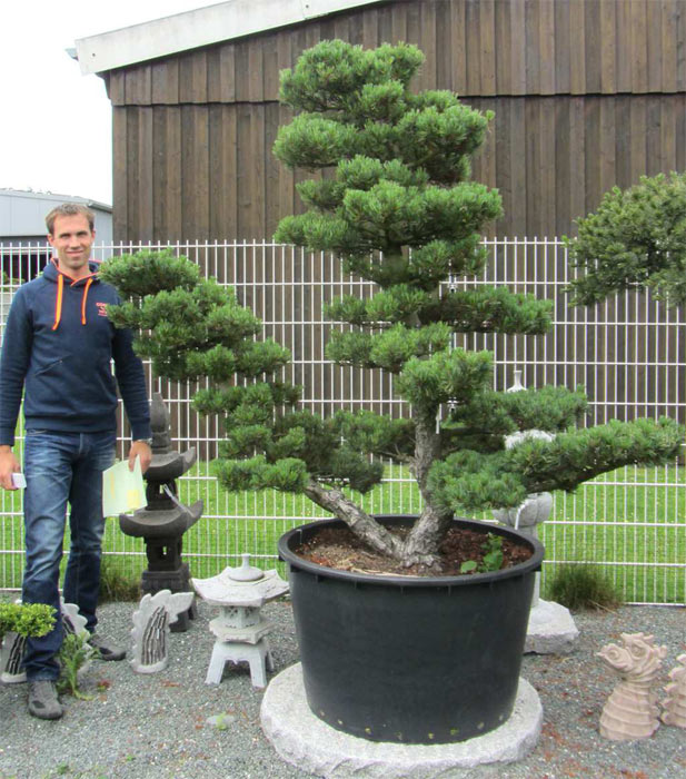 Bonsai De SHOP Gartenbonsai Kiefer Kiefer35 Gartenbonsai