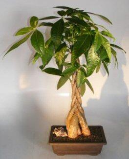 money bonsai tree braided