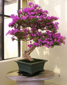 A flowering purple Bougainvillea Bonsai