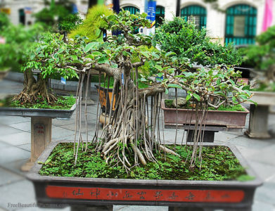 Ficus Benjamina Bonsai Species Guide And Care Tips