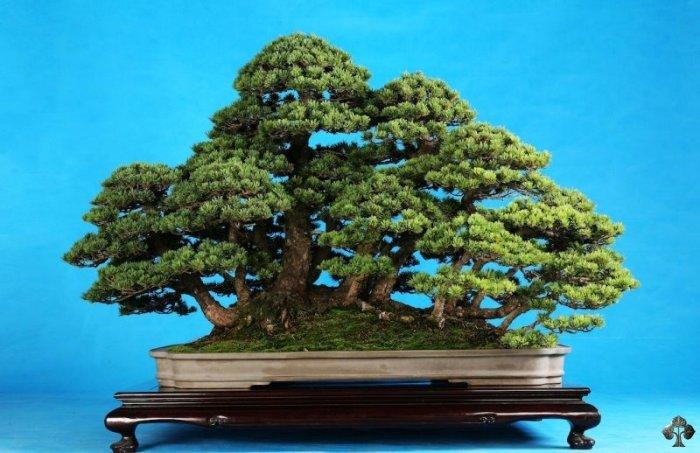 Top 10 rvores de Penjing chinesas  Bonsai Empire