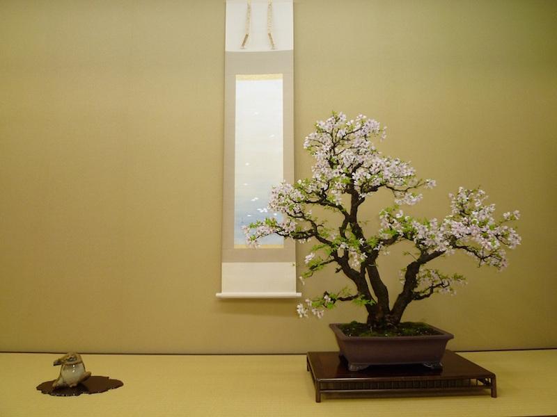 Cherry blossom Bonsai around April.