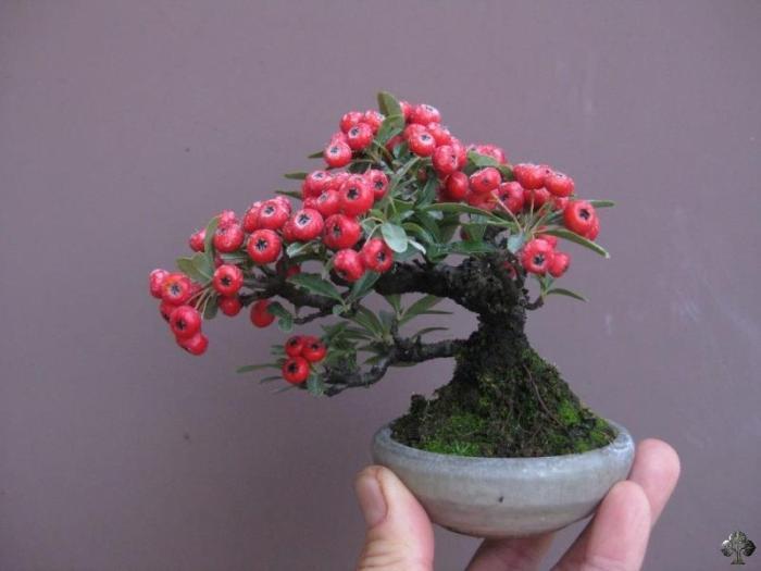Mini Bonsai Art Em Flores Smallest Bonsai Trees Mini