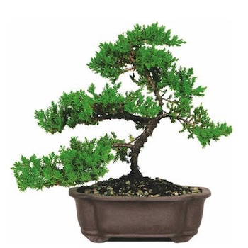 Cheap juniper Bonsai
