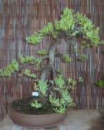Juniperus pingii sold 14/3/15. Developed from material grown by Mike Simonetto.