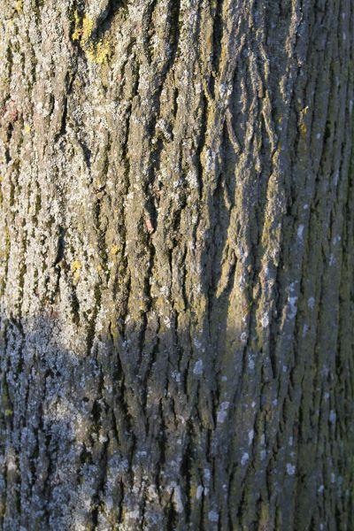 Linde bonsaipflegech