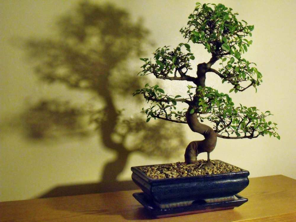 medium resolution of chinese elm bonsai tree care guide ulmus parvifolia bonsai tree chinese elm bonsai tree