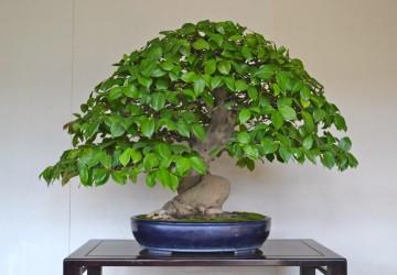 Ginkgo Bonsai Trees Bonsai Tree Gardener