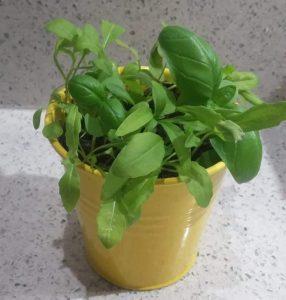 rucola basilicum