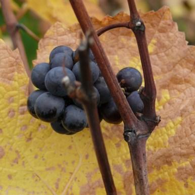 photos de vigne Bonum Vinum