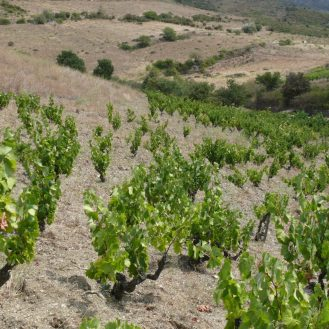 vins naturels du Roussillon Calimas