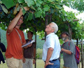 cépages hybrides américains Coteaux d'Aujac