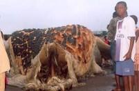 Mysterious Sea Monster on a Guinea Beach