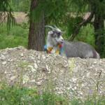 bookblast sacred goat outer mongolia