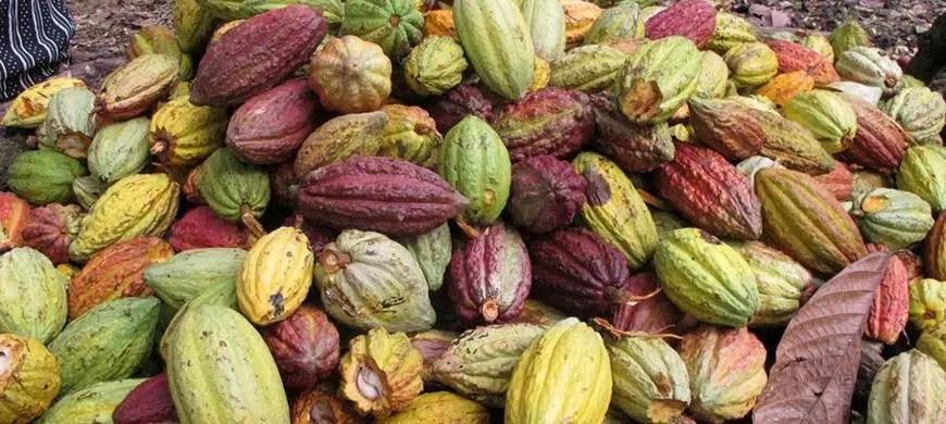 Madagascar, l'un des paradis du cacao