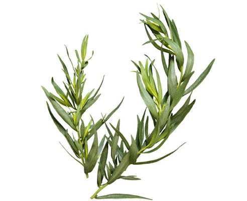 Image Result For Tea Tree Oil Where Can I Buy It