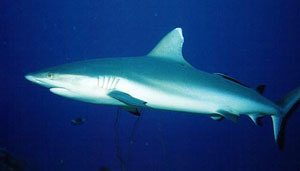 ph_Grey_reef_shark2