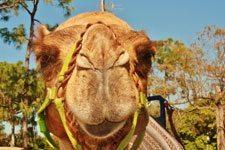 ph_camel