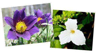 pasque flowers trillium