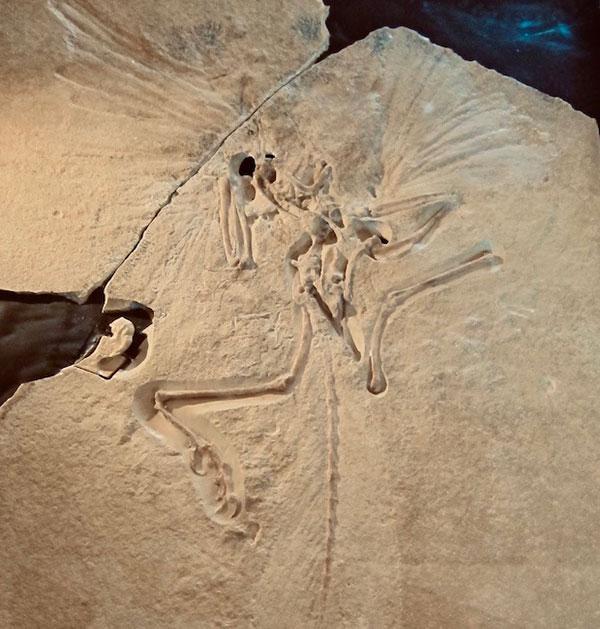 archeaopteryx