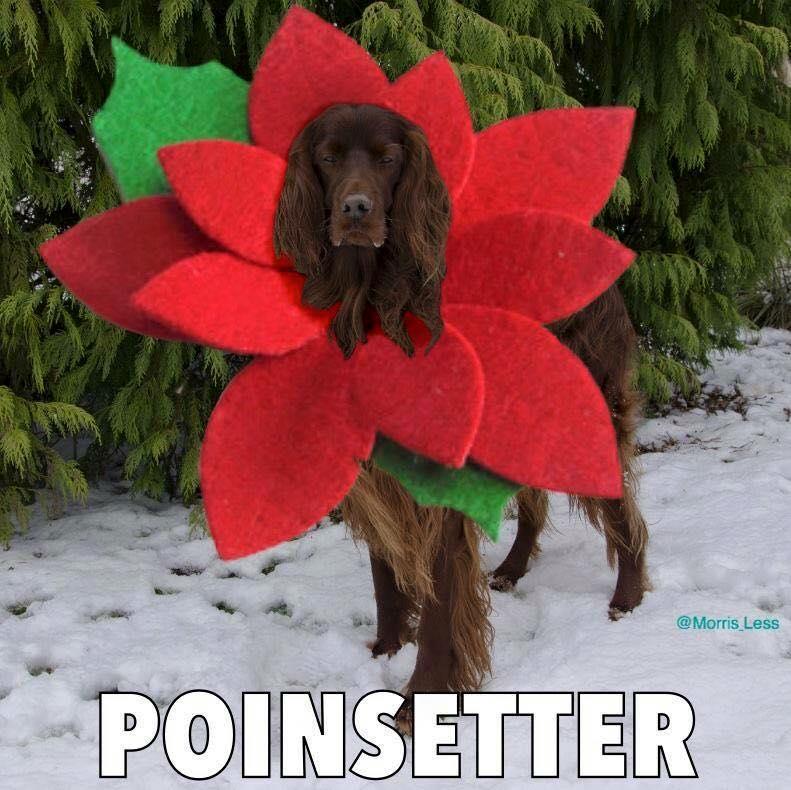 Poinsetter