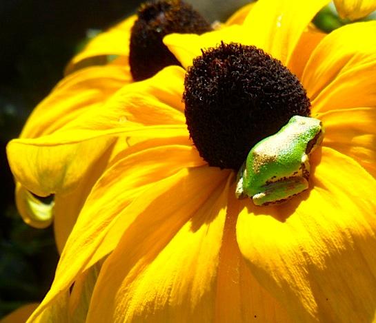 boomerfrog