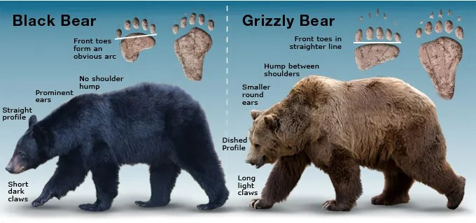 difference between black bear and grizzly bear