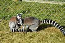 Banham Zoo - Lemurs