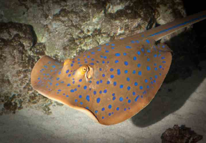 Blue Spotted Ray3