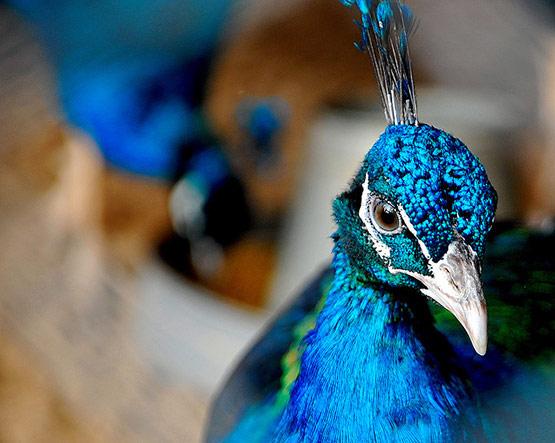 Dance of a Peacock Pakistan