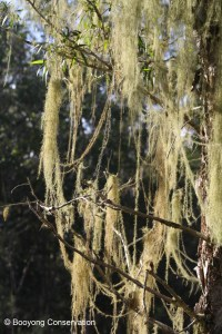Moss on Paperbark Tree