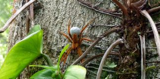 spider panama