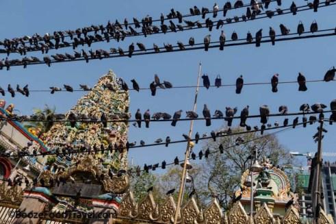 Yangon pigeons