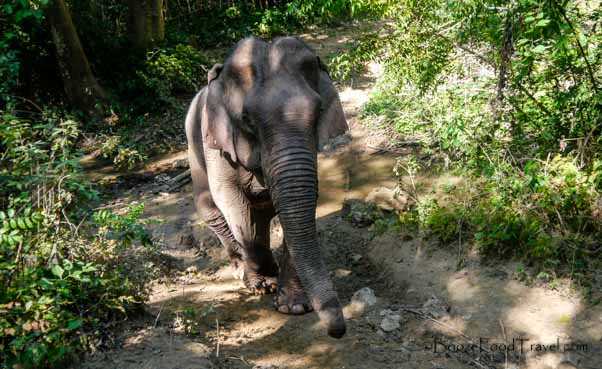 laos elephant