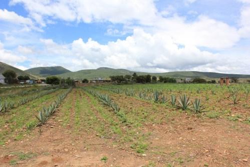 Agave fields/Photo: David Hammond
