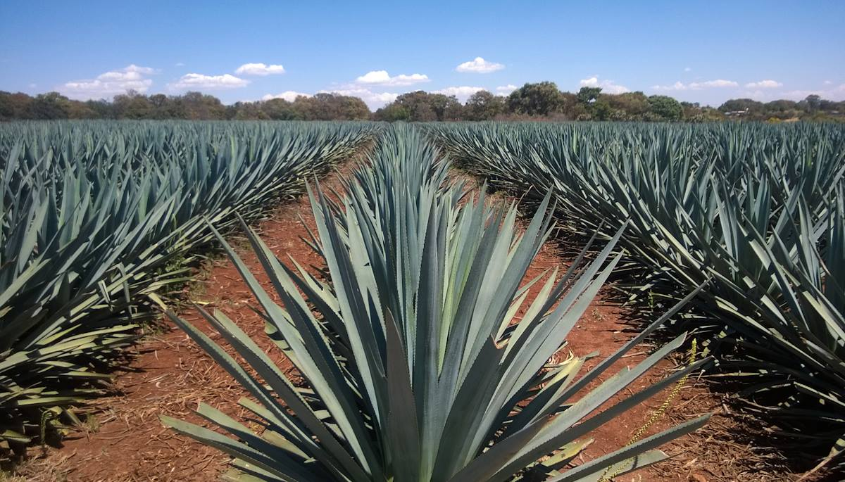 Boozist agave field