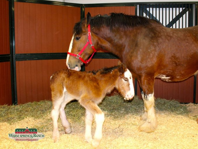 Budweiser Clydesdale Pony