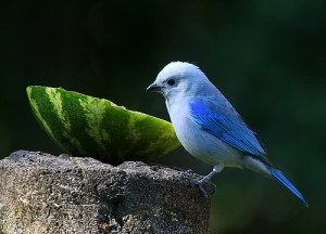 Blue Gray Tanager Boquete Panama bird