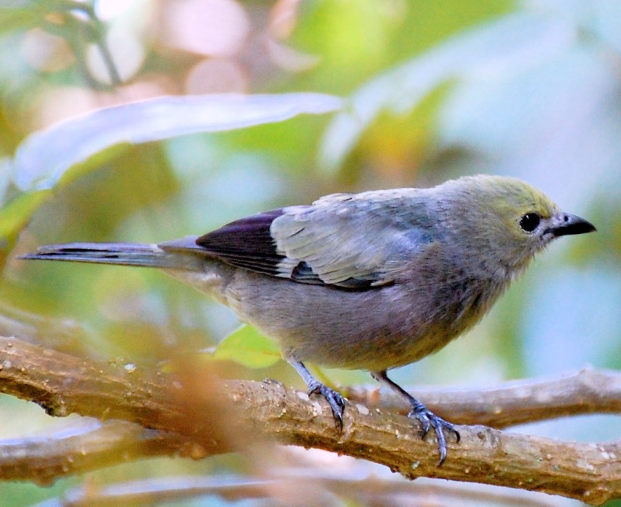 Palm Tanager at Boquete Garden Inn